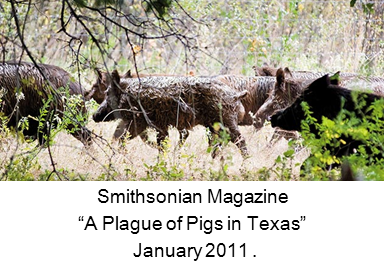 Website link to Smithsonian Magazine article A Plague of Pigs in Texas
